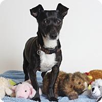 Adopt A Pet :: Dash - Oakland, CA