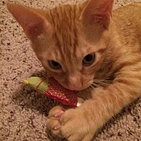Domestic Shorthair Cat for adoption in Houston, Texas - Ted