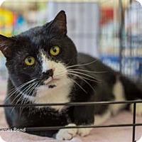 Adopt A Pet :: James Bond - Merrifield, VA