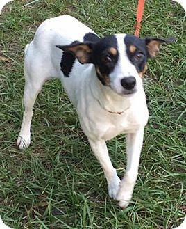 Rat Terrier Mix Dog for adoption in Orlando, Florida - Fallon