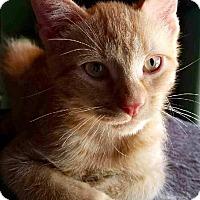 Adopt A Pet :: Murray - the social butterfly - Tucson, AZ