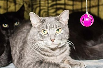 American Shorthair Cat for adoption in Brooklyn, New York - Ringo