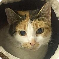Adopt A Pet :: Erin-I'd love another calm cat - Manchester, NH