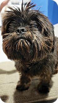 Shih Tzu Mix Dog for adoption in Seattle, Washington - Mougli