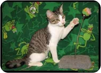 Domestic Shorthair Cat for adoption in Orlando, Florida - Dupree