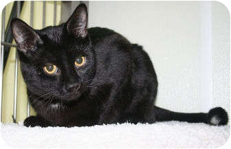 Domestic Shorthair Cat for adoption in Edmonton, Alberta - Meko