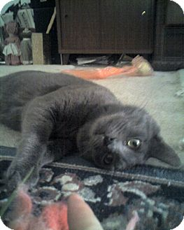 Russian Blue Cat for adoption in Laguna Woods, California - Bernard