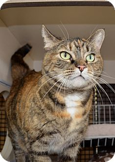 Domestic Shorthair Cat for adoption in Frederick, Maryland - Nyla