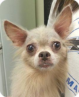 Chihuahua Mix Dog for adoption in Orlando, Florida - Stevie