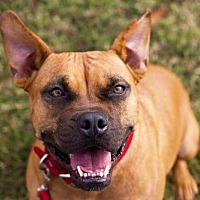 Pit Bull Terrier/American Staffordshire Terrier Mix Dog for adoption in Tanner, Alabama - Ginger