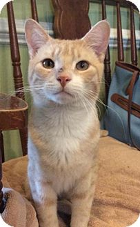 Domestic Shorthair Cat for adoption in Breinigsville, Pennsylvania - Bon Jovi