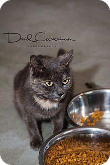 Calico Cat for adoption in Monterey, Virginia - Pearl $35 adoption