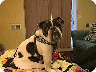 English Bulldog Dog for adoption in Columbus, Ohio - Blue