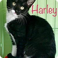 Adopt A Pet :: Harley - Island Park, NY