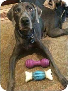 Weimaraner Dog for adoption in Attica, New York - Sasha