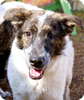 Blue Heeler Mix Dog for adoption in Houston, Texas - Spuds