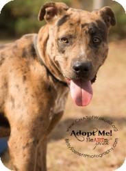 Catahoula Leopard Dog Mix Dog for adoption in Crawfordville, Florida - Demo