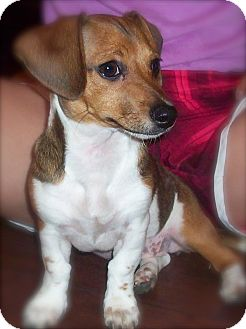 Dachshund/Fox Terrier (Smooth) Mix Puppy for adoption in CHICAGO, Illinois - Eloise