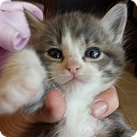 Adopt A Pet :: Chole - Chandler, AZ