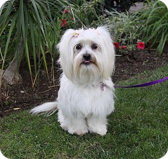 Lhasa Apso Mix Dog for adoption in Newport Beach, California - JUSTINE