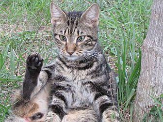 Bengal Cat for adoption in Zolfo Springs, Florida - Bermuda