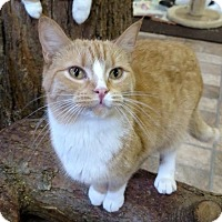 Domestic Shorthair Cat for adoption in Maryville, Tennessee - Princess