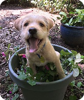 Terrier (Unknown Type, Medium) Mix Puppy for adoption in Bowie, Maryland - Adopted! Penny