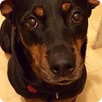 Adopt A Pet :: Precious - Frederick, PA