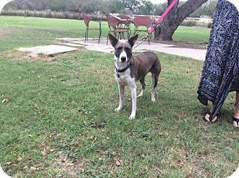 Catahoula Leopard Dog Mix Dog for adoption in Brownsville, Texas - Tazzy