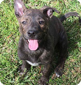 Labrador Retriever/German Shepherd Dog Mix Puppy for adoption in Sagaponack, New York - Marlon