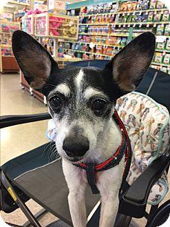 Rat Terrier Dog for adoption in Brea, California - Freddy