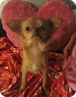 Chihuahua Mix Dog for adoption in San Diego, California - Brookie