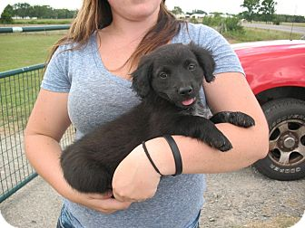 Sheltie, Shetland Sheepdog/Golden Retriever Mix Puppy for adoption in Salem, New Hampshire - Baby Cheeks