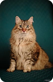 Domestic Longhair Cat for adoption in St. Louis, Missouri - Rosie