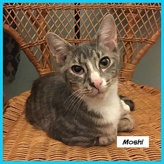 Domestic Shorthair Cat for adoption in Miami, Florida - Moshi