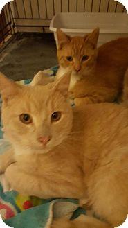 American Shorthair Kitten for adoption in Idaho Falls, Idaho - Brody