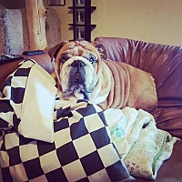 English Bulldog Dog for adoption in Decatur, Illinois - MaxDaddy