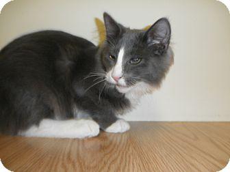 Domestic Longhair Kitten for adoption in Milwaukee, Wisconsin - Vaughn