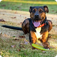 Hound (Unknown Type)/Doberman Pinscher Mix Dog for adoption in Arlington, Virginia - Remy
