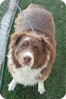 Australian Shepherd Mix Dog for adoption in Fruit Heights, Utah - Marshmallow