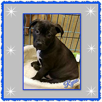 Labrador Retriever/American Staffordshire Terrier Mix Puppy for adoption in Richmond, California - Ryan