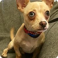 Adopt A Pet :: Chachi - Phoenix, AZ