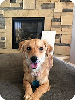 Dachshund/Chihuahua Mix Dog for adoption in Fort Collins, Colorado - Chanel (FORT COLLINS)