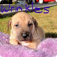 Adopt A Pet :: Wrinkles - Agoura Hills, CA