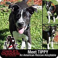 Adopt A Pet :: Tippy - Spring City, PA