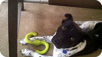 Pointer/Australian Cattle Dog Mix Dog for adoption in Sacramento, California - Shylo