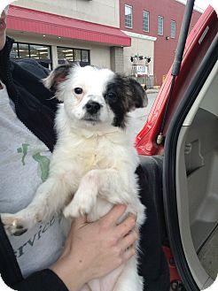 Shih Tzu Mix Puppy for adoption in Hazard, Kentucky - Lucky