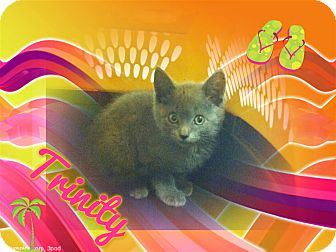 Russian Blue Kitten for adoption in Washington, D.C. - Trinity