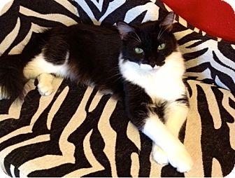 Domestic Longhair Cat for adoption in Fountain Hills, Arizona - GRAFFITI