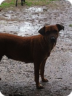 Labrador Retriever/Rhodesian Ridgeback Mix Dog for adoption in Baton Rouge, Louisiana - Lil Bit